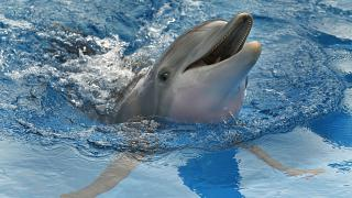 Aug 31 photo, Winter the dolphin swims in a tank in Clearwater, Fla.