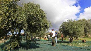 Olivi nell'isola greca di Paros (archivio)