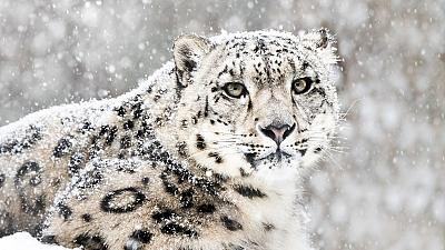 Snow leopards, which are on the brink of extinction, are being honoured in tonight's event.