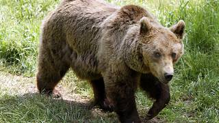 A European bear pictured at Les Angles animal park in the south of France.
