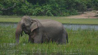 سريلانكا تتخذ تدابير وقائية لمنع الفيلة من تناول البلاستيك