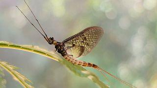 """Mayıs sineği """"2021 Yılın Böceği"""" seçildi"""