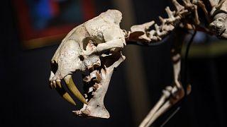 """İsviçre: 40 milyon yıllık """"kılıç dişli kaplan"""" açık artırmayla satılıyor"""