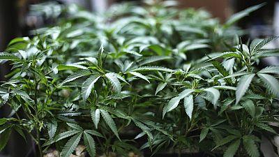 Les recettes d'exportation de cannabis pourraient dépasser celles du tabac