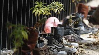 Ростки конопли у стен сената Мексики на акции за полную легализацию марихуаны