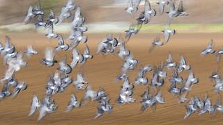 Why pigeon racing is spreading its wings in Senegal