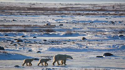 A 'Beardar' is helping to spot polar bears in Churchill, Canada before they come into conflict with people.