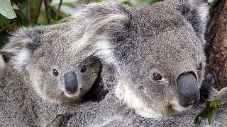 Koalapár Sydney állatkertjében