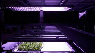 LED ışıklar sayesinde büyütülen sebzeler
