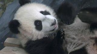 فان شينغ يرى الزوار للمرة الأولى في حديقة حيوانات هولندا