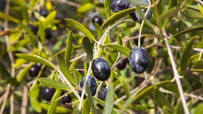 Cazorla olives