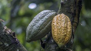 Cacao : Victoire éclair de la Côte d'Ivoire et du Ghana contre Hershey