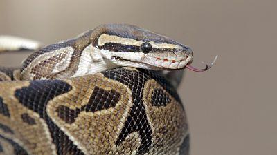 Saisie de 80 serpents à l'aéroport de Douala