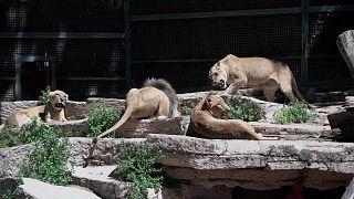 اختبار فيروس كورونا يكشف عن إصابة أربعة أسود في حديقة حيوانات برشلونة