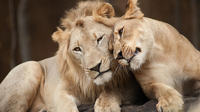 Female and male lion together