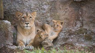 FILE PHOTO LIONS
