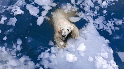 A polar bear floating in the Arctic sea