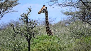 Girafa na ilha do lago Baringo, Quénia