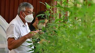 Alfredo Bolaños, agrónomo del Instituto Nacional de Innovación en Tecnología Agropecuaria de Costa Rica, supervisa las plantas de cáñamo que investiga en un invernadero