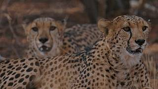 How cheetahs and farmers can live together in Namibia