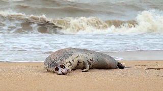 Eine tote Kaspische Robbe am Strand von Machatschkala