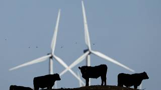 FILE - In this Dec. 9, 2015 file photo, cattle graze in a pasture against a backdrop of wind turbines near Vesper, Kan.