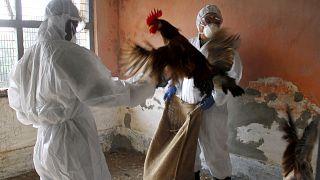 Hindistan'da kuş gribine karşı önlemler artırıldı