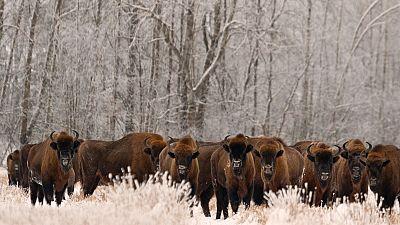 European bison were extinct in the wild 100 years ago.