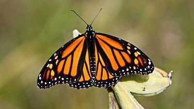The monarch butterfly species is in decline.