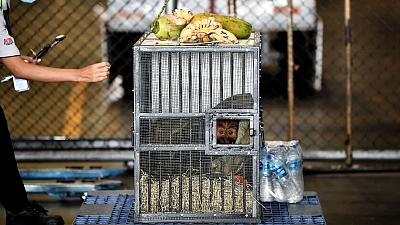 A Sumatran orangutan sits in a cage before being repatriated from Thailand to Indonesia.