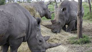 Africa Fights to Save its Endangered Rhinos Despite the Pandemic
