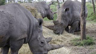 La protection du rhinocéros à l'épreuve de la Covid-19