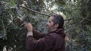 Olio greco: un'altra vittima della crisi Covid