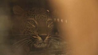 Леопарды из Швеции: кадр из видео AP