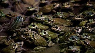 إنشاء محمية في الإكوادور لحماية أنواع من الضفادع من خطر الإنقراض