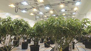La Macedonia del Nord guarda a Amsterdam: marijuana 'più libera'