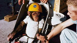 NASA'nın 1961 yılında uzaya gönderdiği şempanze Ham.