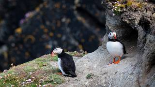 Puffins are native to the Isle of Foula