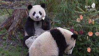 Berlin Hayvanat Bahçesi'nde pandalar, kutup ayıları ve yavru aslanlara Noel kutlaması