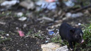 Cochinillo vietnamita dando un paseo entre la basura