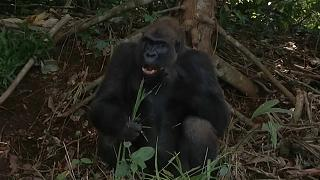 Congo wildlife reserve raises critically endangered gorillas