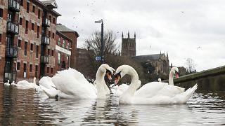 Лебеди плавают по затопленным улицам