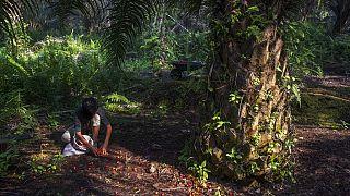 Egy fiú gyűjti a lehullott pálmamagot Szumátrán