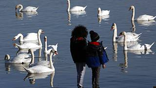 Children watch swans on the bank