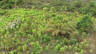 Plantações de folha de coca - Colômbia