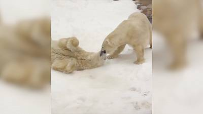 Two polar bears are playing in the snow in the San Diego Zoo