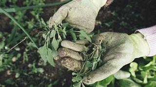شعب تركمانستان يستخدم نبتة الحرمل للوقاية من كورونا