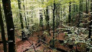 Девственные буковые леса в Карпатах
