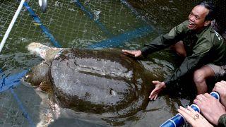 Vİetnam'da, dünya üzerinde bilinen tek örneği kalan yumuşak kabuklu Yangtze kaplumbağasından bulundu.