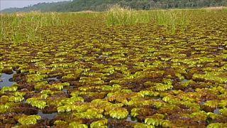 Seekühe in Kamerun leiden unter grüner Invasion. Können Käfer helfen?